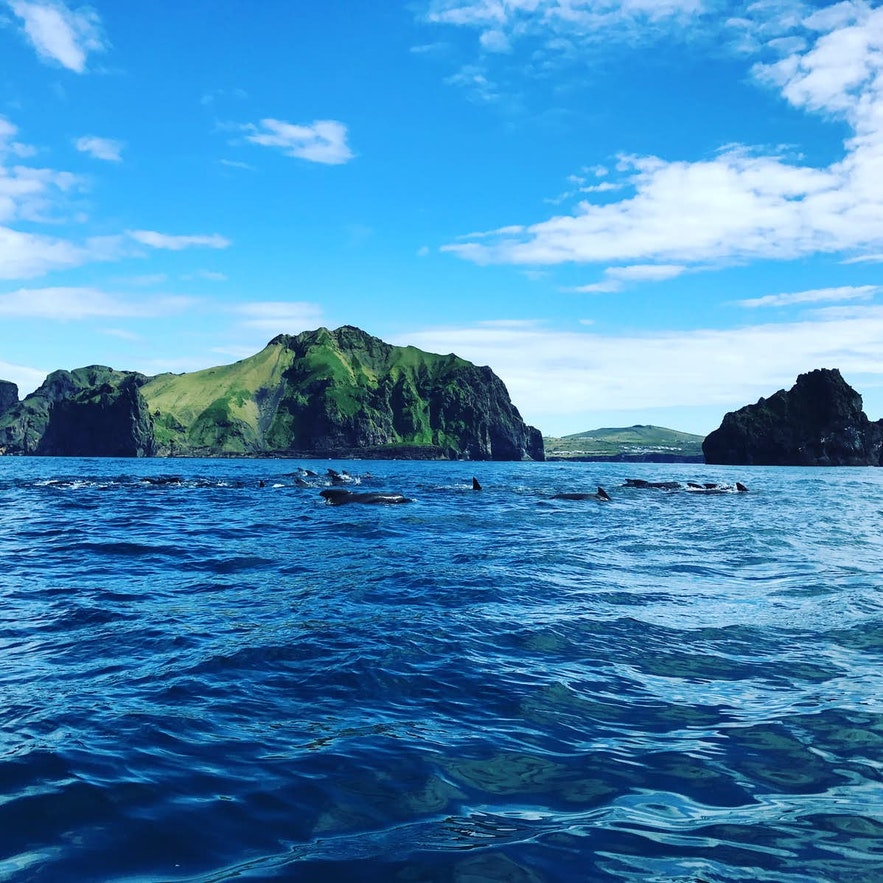 Orcas break the surface for air off the coast of the Westman Islands.