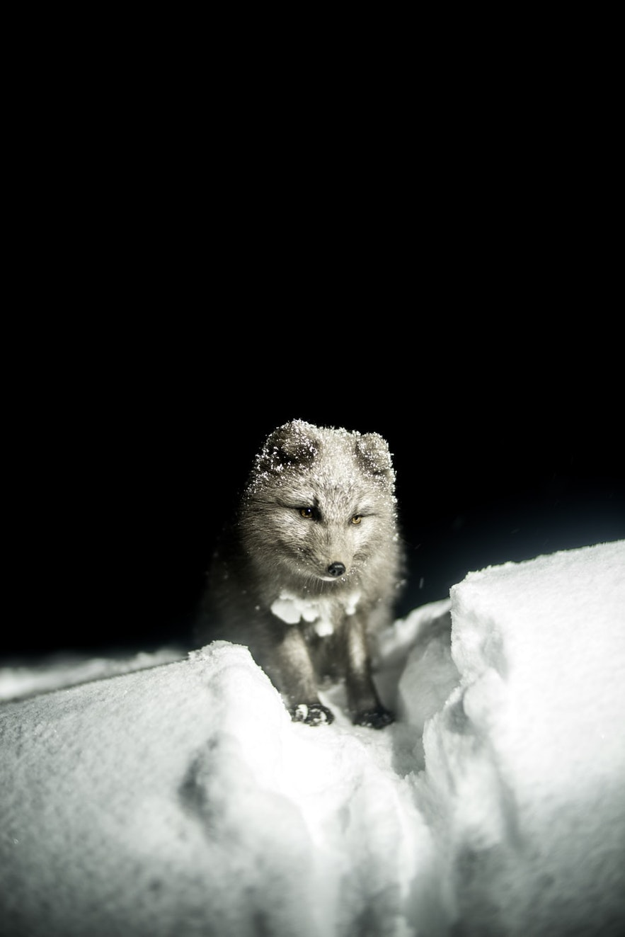 Arctic Foxes are perfectly adapted to Iceland's cold.