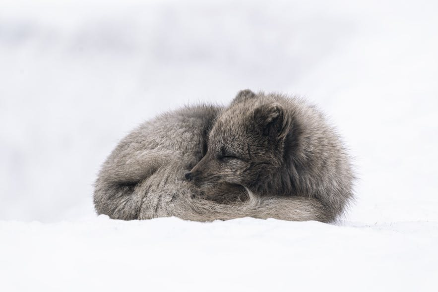 Arctic Foxes will often wrap their tails around their bodies in order to preserve heat.