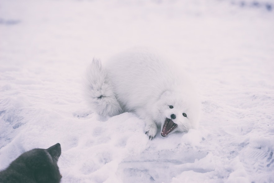 Arctic foxes are sadly still hunted for sport.