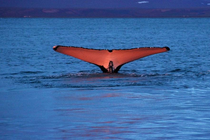 A whale raises its flukes under the Midnight Sun.