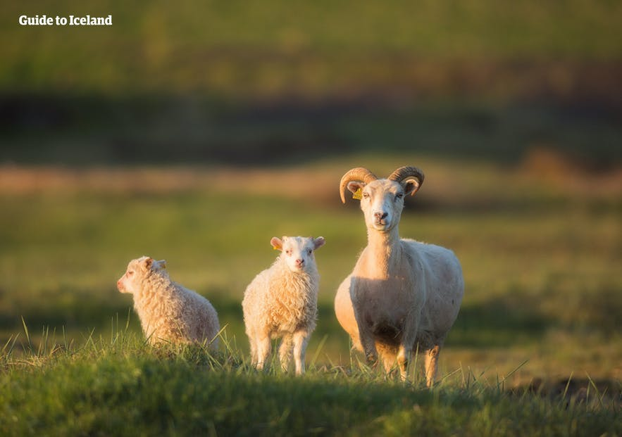 The Icelandic sheep roam free in the countryside in the summer