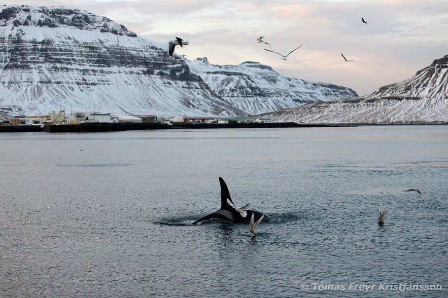 An orca, pictured off the Snæfellsnes Peninsula.
