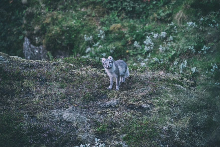 An Arctic Fox hides in the undergrowth of Iceland.