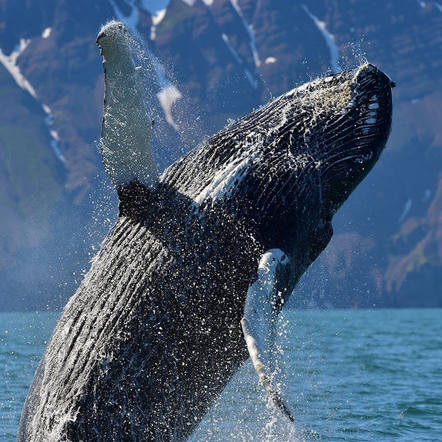 A Humpback whale jumping majestically out of the water.
