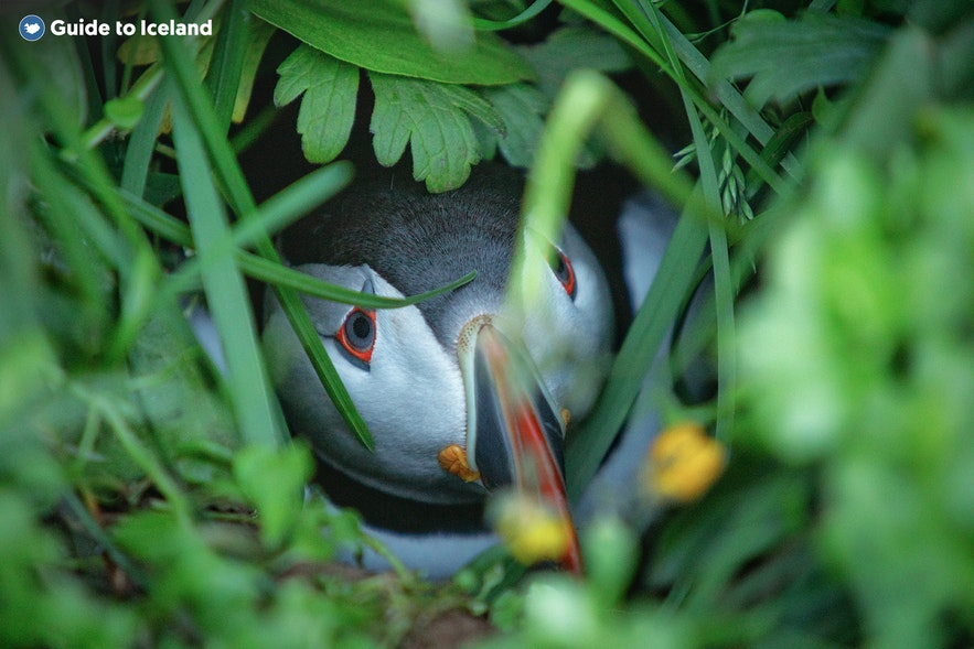 A puffin hiding in the grass.