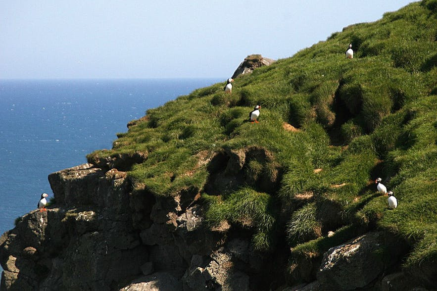The cliffs at Ingólfshöfði are home to many puffins.