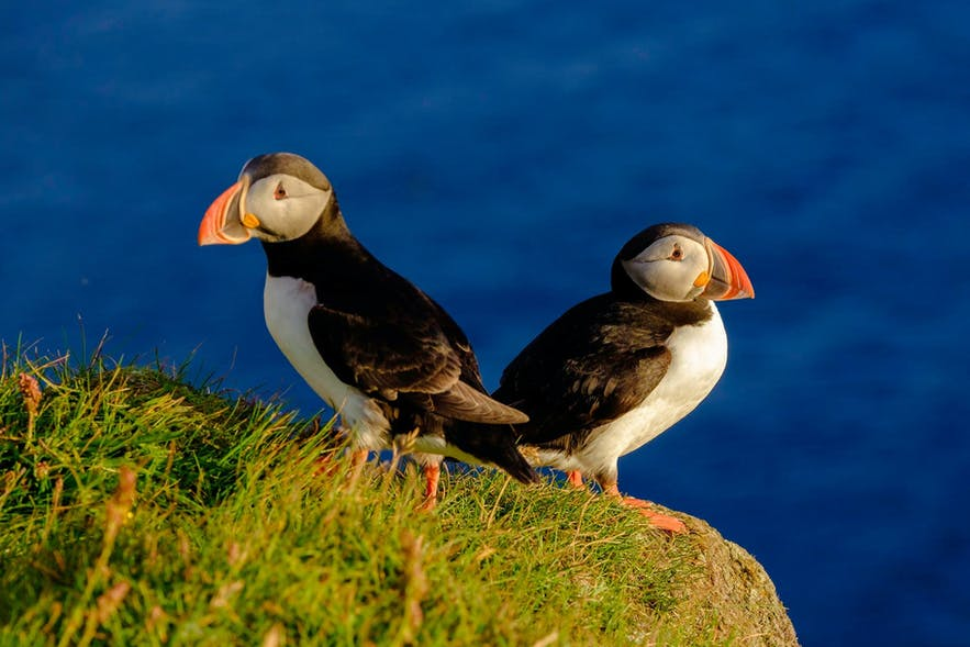 A pair of puffins near Reykjavik,