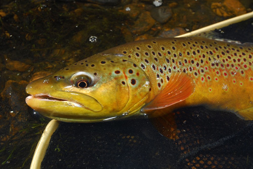 Brown trout are common in Iceland.