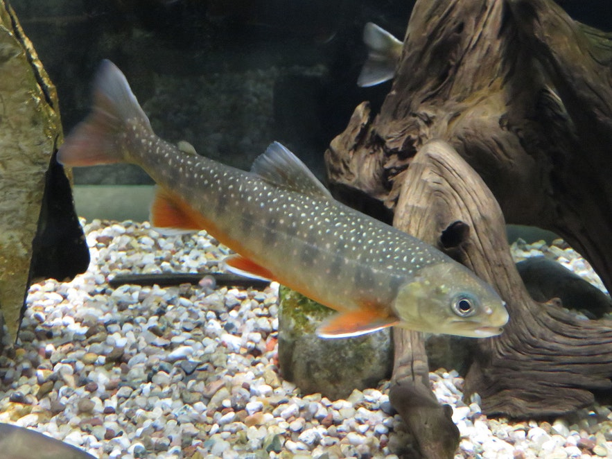 An Arctic Char in a tank.