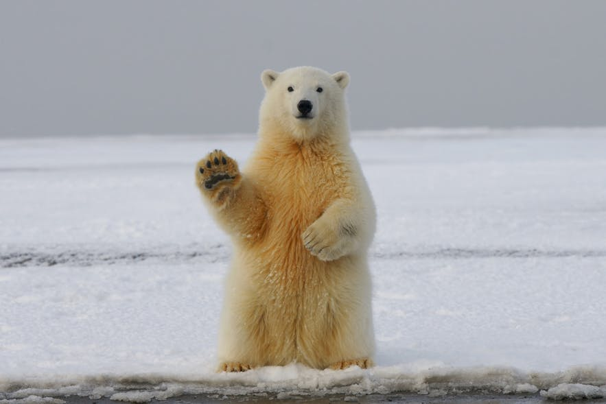 Polar Bears living in Iceland is one of the permeating myths. Polar bears only arrive sporadically from Greenland, arriving on floating icebergs.
