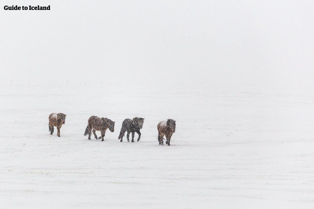 Konie islandzkie przemierzają zaśnieżone pole na Islandii zimą.