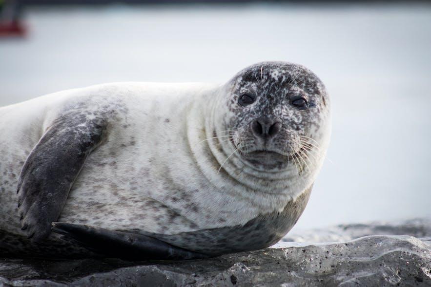 Many seals make their home around Iceland's coasts.