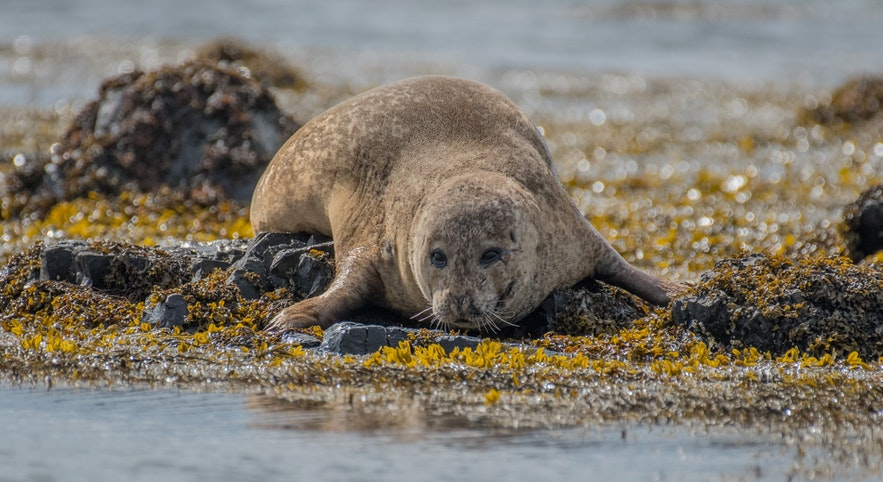 A seal looks coyly at a camera in Iceland.
