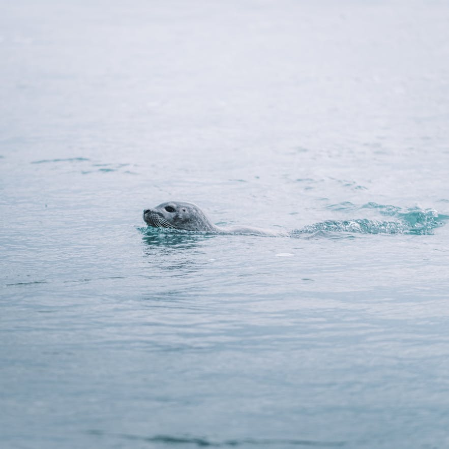 A seal cruises peacefully through the seas of Iceland.
