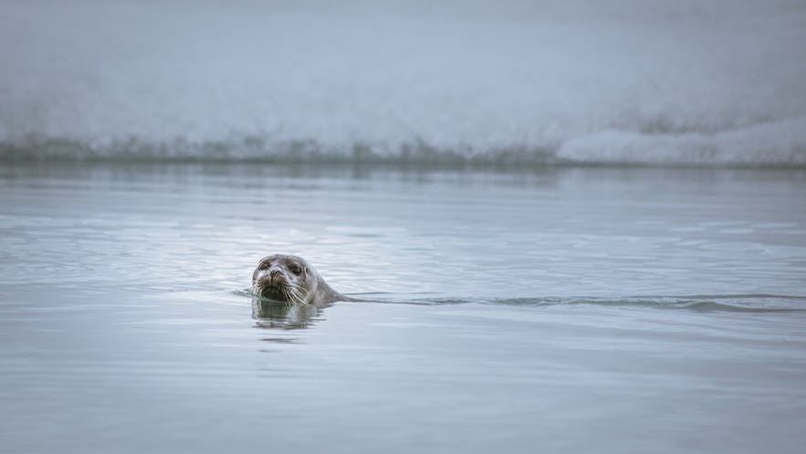 The emotive eyes of seals make it easy to see how myths about Sulkies came about.