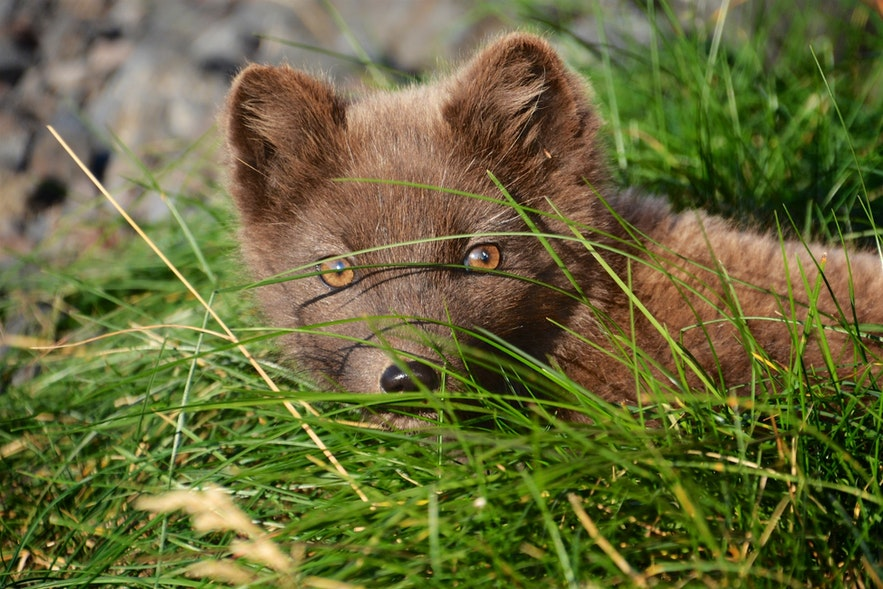 An arctic fox, pictured here in Iceland, spots a photographer.