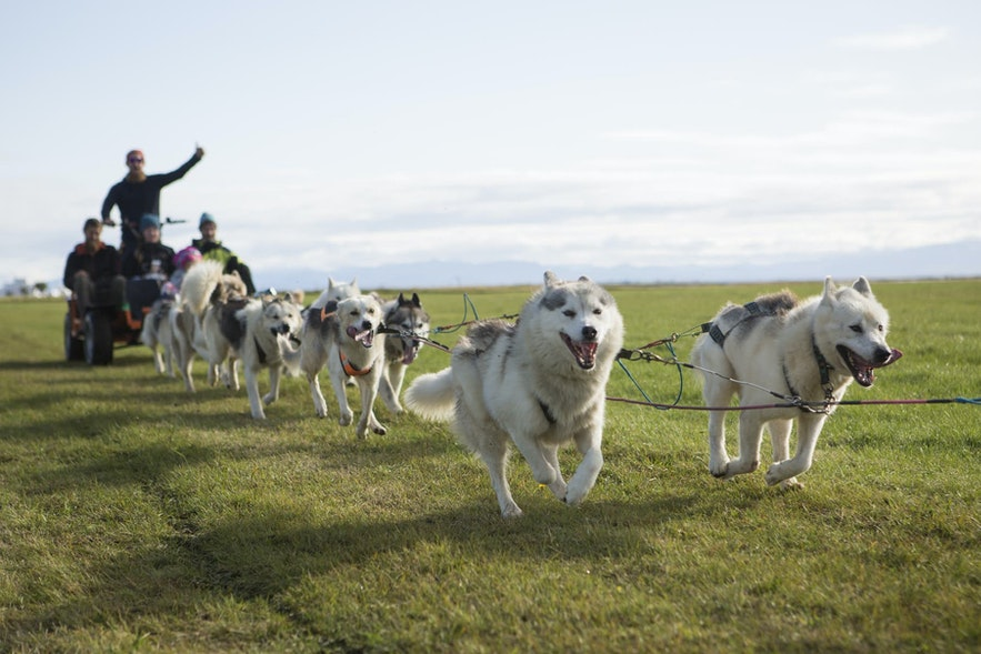 Dog sledding is a year-round opportunity in Iceland.
