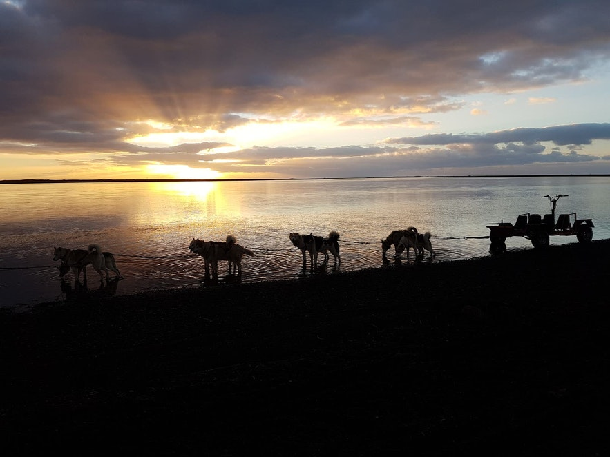 A row of huskies stand by an Icelandic lake.
