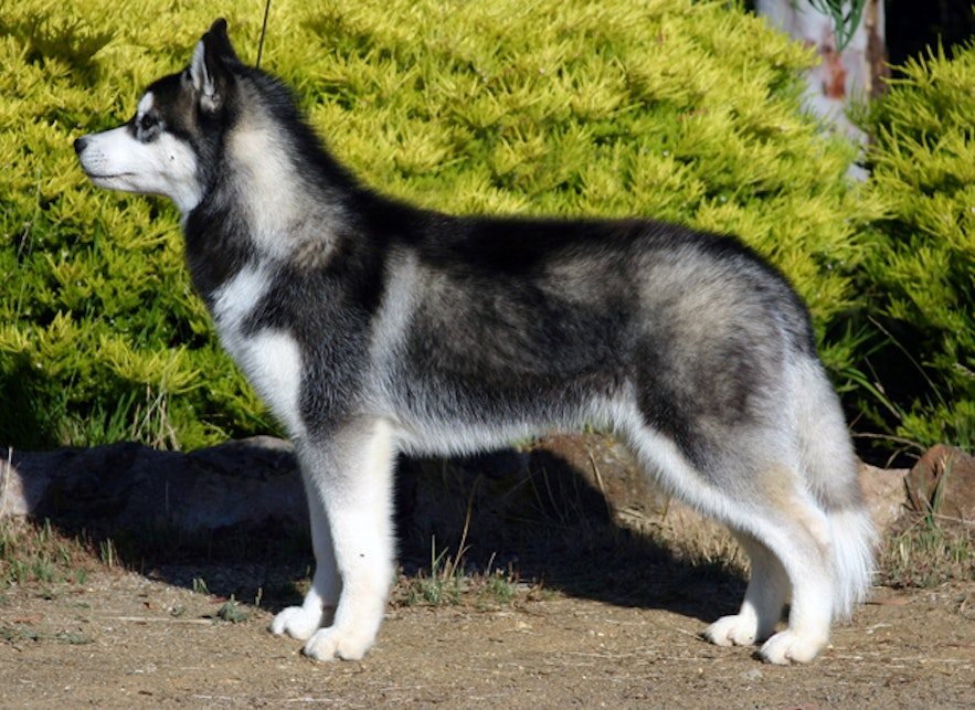 Siberian Huskies are excellent sled dogs.
