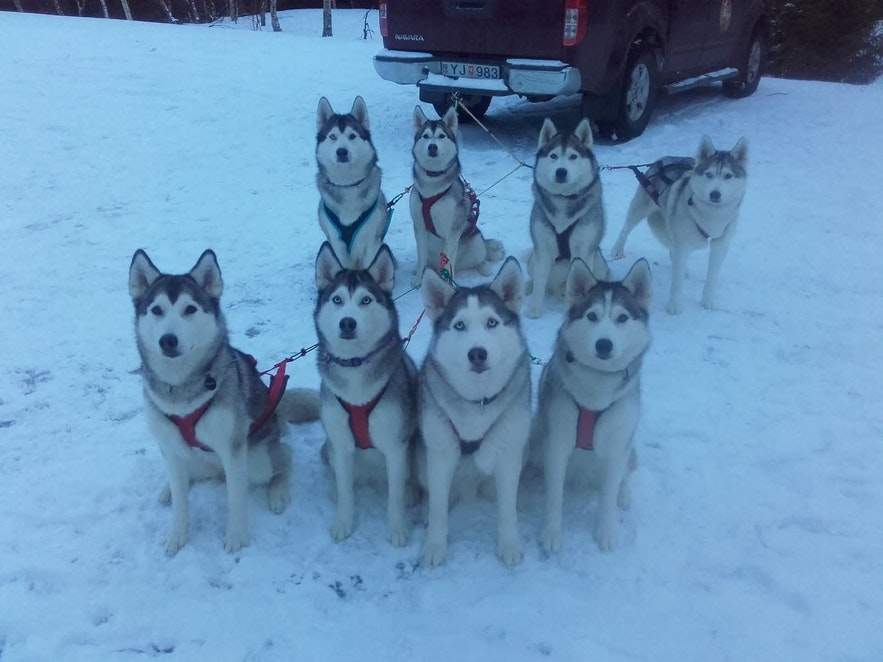 Huskies are a gentle, friendly breed of dog.