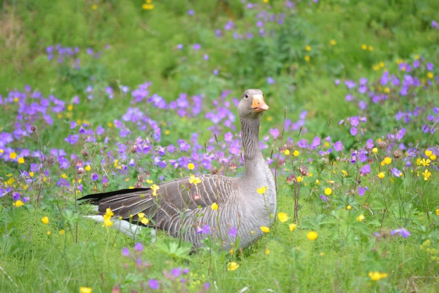 The Graylag goose is present in large numbers in Iceland during hunting season