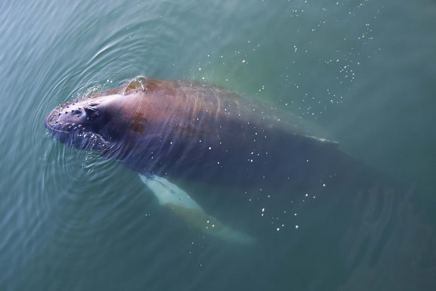 There are over twenty cetacean species that live around Iceland.