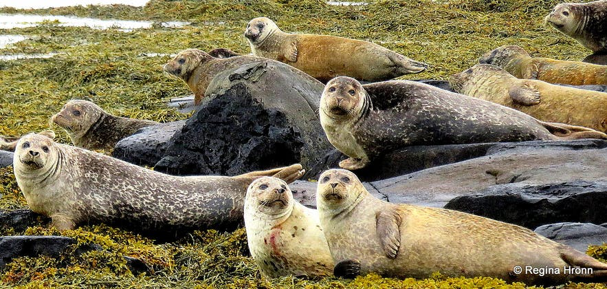 Seals at Hvítanes in the Westfjords of Iceland