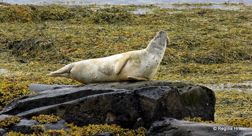 Seals at Hvítanes in the Westfjords of Iceland
