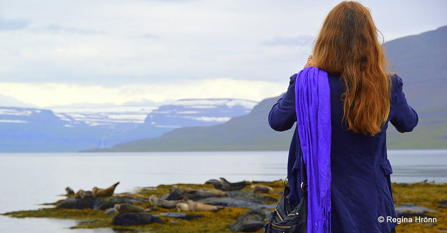 Photographing seals at Hvítanes in the Westfjords of Iceland