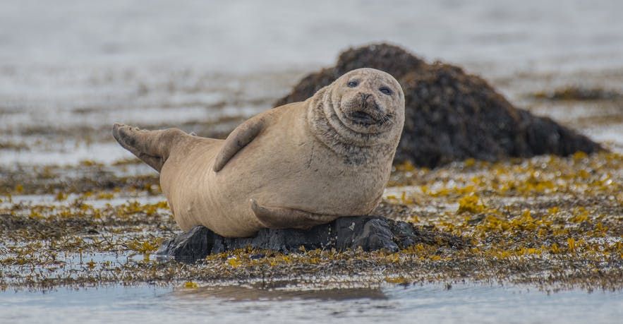 Seals can be found around the Ytri Tunga white beach in Snæfellsnes.