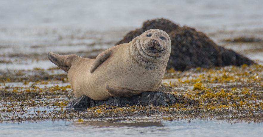 Seals can be found around the Ytri Tunga white beach in Snæfellsnes.