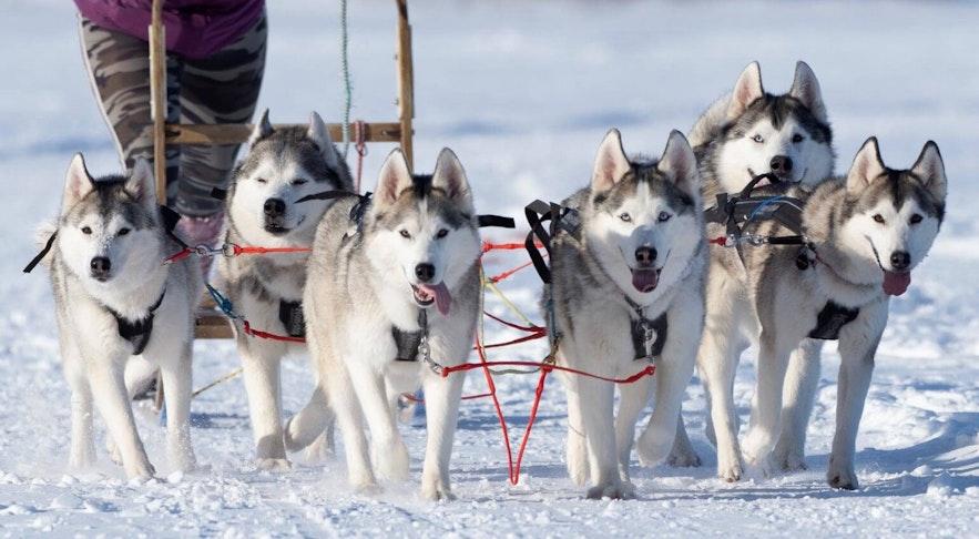 Dogsledding near Lake Mývatn is a family activity.