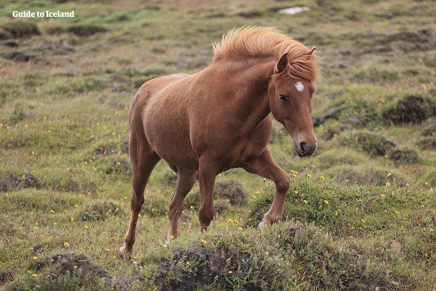 A horse trots through West Iceland.