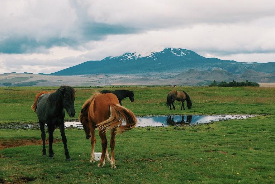 Horses gather around Hekla in Iceland.