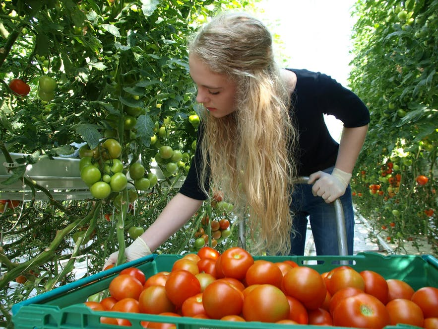 A woman picks tomatoes at Fridheimar in Iceland.