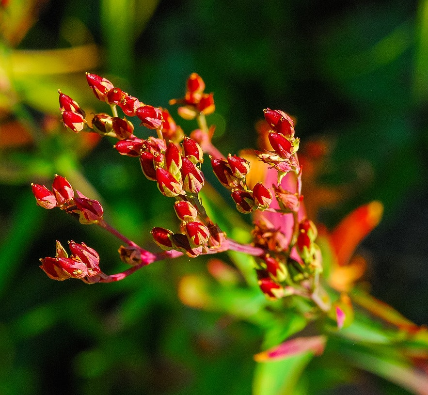 Sheep sorrel is a favourite for walks.
