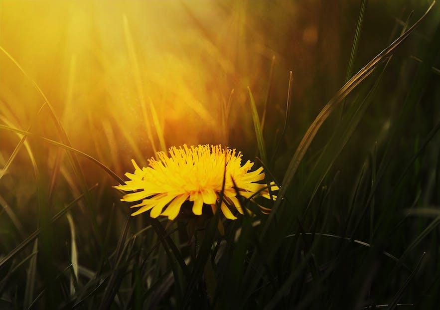 A dandelion in flower.