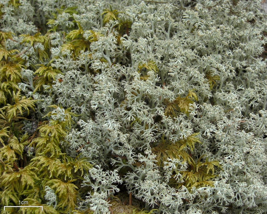 Reindeer moss is actually a lichen.