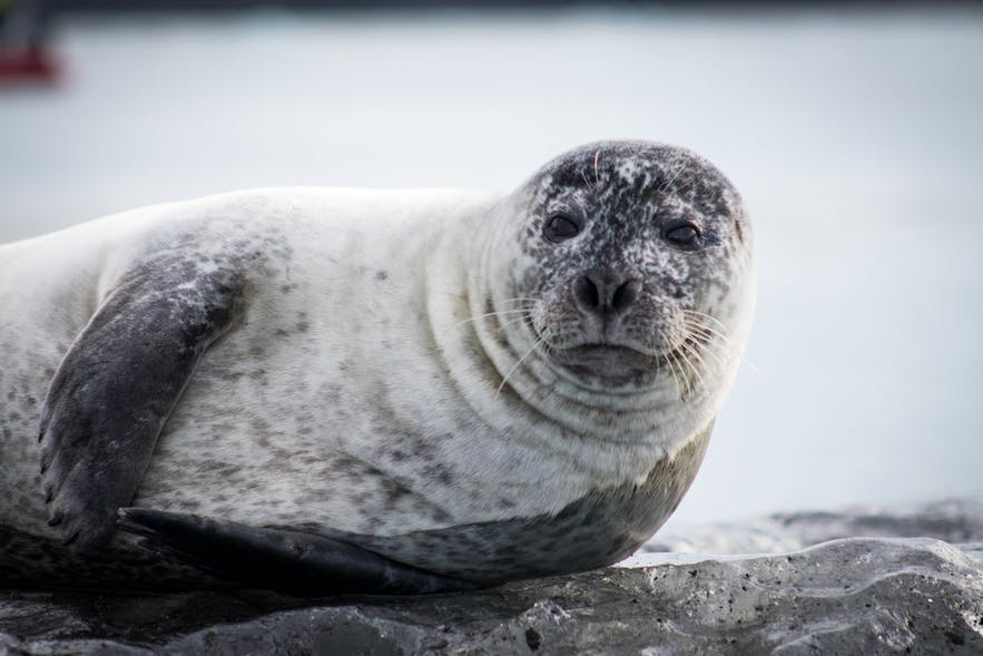 Seals are often interested in Iceland's kayakers.