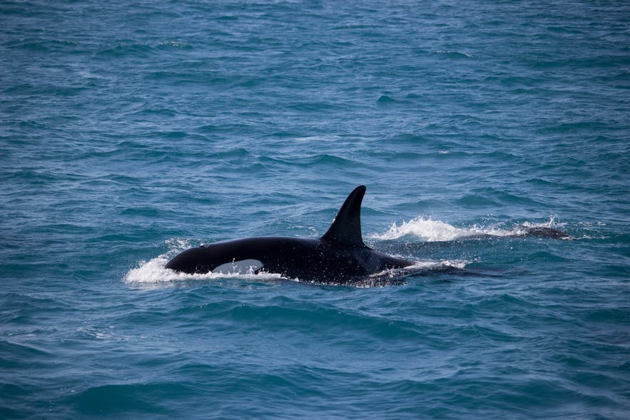 An orca appears in Iceland's waters.