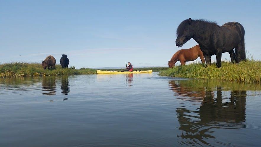A kayaker passes Icelandic horses.