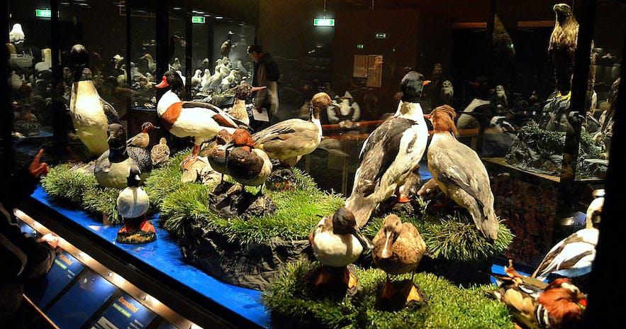 A collection of birds near Lake Myvatn.