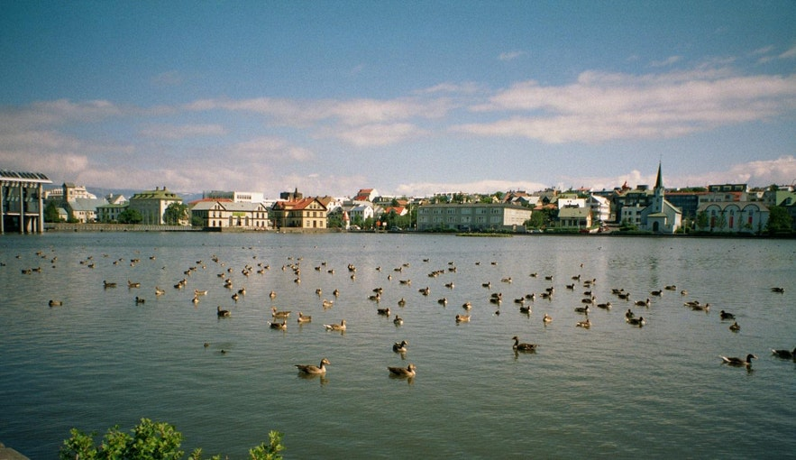 Many geese congregate in Tjornin.