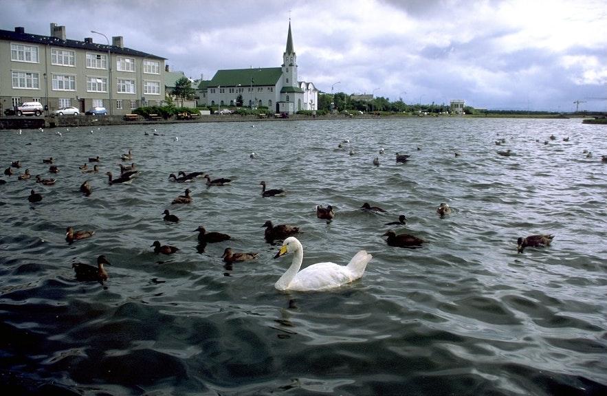 Species at the lake include Arctic Tern, Eider Ducks, Gadwalls. Greylag Geese, Seagulls, Scaup and Mallard Ducks