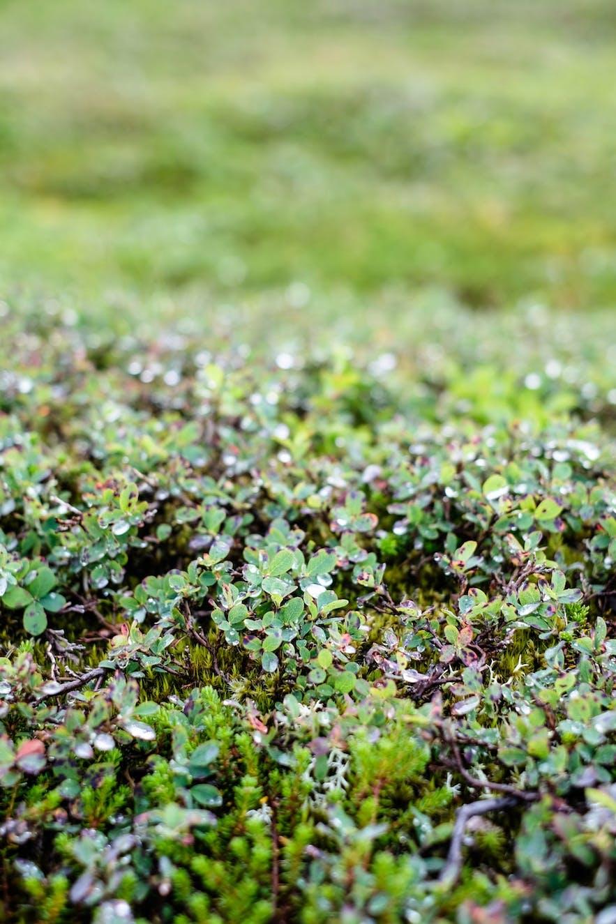 Einarsgardur has a flower garden with Icelandic flora.