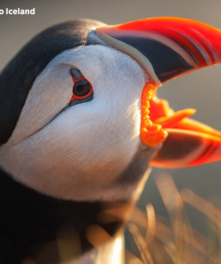 Puffins draw many guests to Iceland.