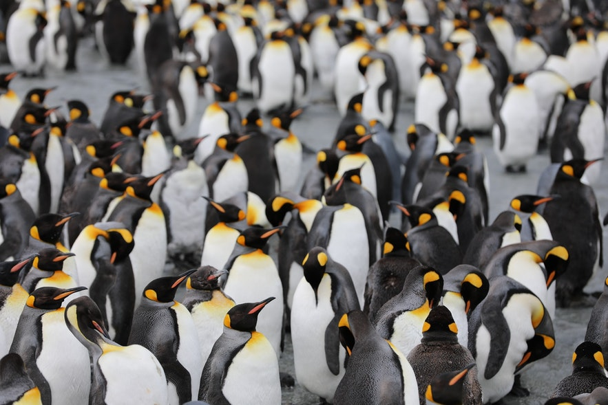 Penguins live thousands of kilometres to the South.
