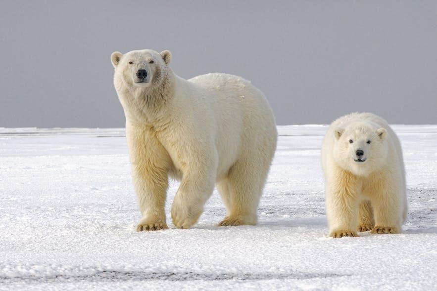 A polar bear and her cub.