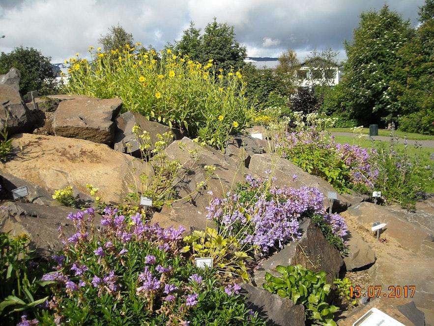 Flowers in bloom at the Akureyri Botanical Gardens.